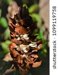 seeds of the costus spicatus on ... | Shutterstock . vector #1099119758