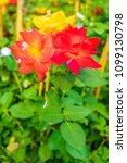Small photo of Rose shrub of a variety 'Joseph's Coat'