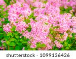 shrubs of lilac of variety... | Shutterstock . vector #1099136426