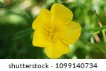 butter cup macro   Shutterstock . vector #1099140734