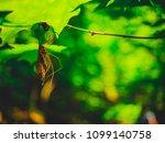 daddy long leg hanging from...   Shutterstock . vector #1099140758