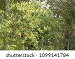 beautiful tembusu plant  kan...   Shutterstock . vector #1099141784