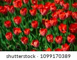 red tulips on a sunny summer... | Shutterstock . vector #1099170389