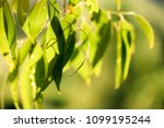 detail weeping willow fringed... | Shutterstock . vector #1099195244