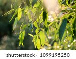 detail weeping willow fringed... | Shutterstock . vector #1099195250