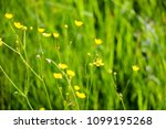 close up of a little yellow... | Shutterstock . vector #1099195268