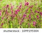 close up of a little violet...   Shutterstock . vector #1099195304
