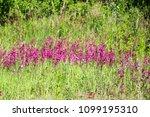 close up of a little violet...   Shutterstock . vector #1099195310