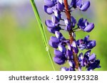 lupinus  lupin  lupine field...   Shutterstock . vector #1099195328