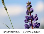 lupinus  lupin  lupine field...   Shutterstock . vector #1099195334