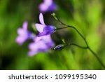 close up of a little blue flower   Shutterstock . vector #1099195340