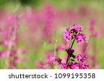 close up of a little violet...   Shutterstock . vector #1099195358
