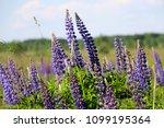 lupinus  lupin  lupine field...   Shutterstock . vector #1099195364
