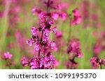 close up of a little violet...   Shutterstock . vector #1099195370