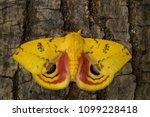 io moth   automeris io ... | Shutterstock . vector #1099228418