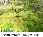 fresh and calm green maple tree ... | Shutterstock . vector #1099258034