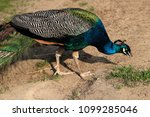 close up male blue indian... | Shutterstock . vector #1099285046