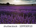 beautiful landscape of lavender ... | Shutterstock . vector #109930910