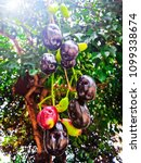 Small photo of Organic fresh Jambolan plum on tree with soft light in bright day, Java plum, Jambul, small fruit black color astringent,Nature fresh and sweet fruit thailand.Selective focus.