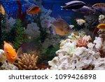 aquarium colourfull fishes in... | Shutterstock . vector #1099426898