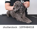 grooming a little poodle in a... | Shutterstock . vector #1099484018
