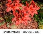 mollis azalea  rhododendron x... | Shutterstock . vector #1099510133
