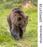 Small photo of European brown bear ((Ursus arctos) foraging in forest habitat with visible tongue. This is the most widely distributed bear and is found across much of northern Eurasia and North America.