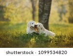 Stock photo two golden retriever puppys runs on grass and play outside 1099534820