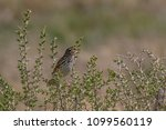 a savannah sparrow perched in a ... | Shutterstock . vector #1099560119