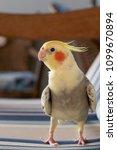 calopsita bird in a blue sofa...   Shutterstock . vector #1099670894