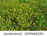 uncultivated meadow in spring... | Shutterstock . vector #1099686254