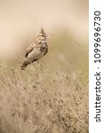 Small photo of Crested Lark in its habitat