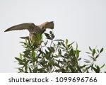 common kestrel with prey | Shutterstock . vector #1099696766