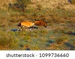 the blue wildebeest ...   Shutterstock . vector #1099736660