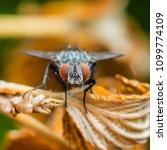 exotic drosophila fruit fly... | Shutterstock . vector #1099774109