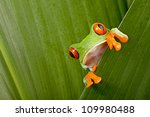 red eyed tree frog peeping... | Shutterstock . vector #109980488