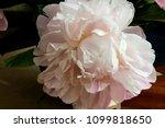 Beautiful Cut Fading Blossomin...