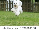 White Toy Poodle Playing In Th...