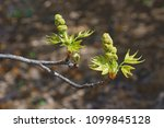 Small photo of American sweetgum (Liquidambar styraciflua). Known also as Redgum, Sweet Gum, Satinwood, Hazel Pine, American storax, Bilsted, Satin-walnut, Star-leaved Gum and Alligator-wood.