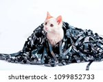 kitten redhead entangled in a... | Shutterstock . vector #1099852733