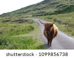 Highland Cattles At The Isle O...