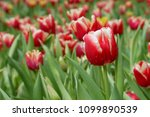 tulip with water drops  in ... | Shutterstock . vector #1099890539