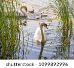 Swans On The Lake. Familiy Of...