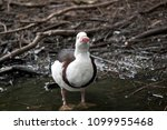The Ragjah Duck Is Wading In A...