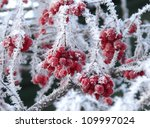 Berries In Hoarfrost