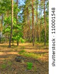 Pine forest in the morning sun - stock photo