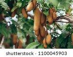 tamarind fresh fruit on tree ... | Shutterstock . vector #1100045903