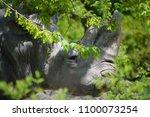 the white rhinoceros or square...   Shutterstock . vector #1100073254