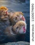japanese snow monkeys relaxing ... | Shutterstock . vector #1100079890