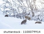 japanese snow monkey in nagano | Shutterstock . vector #1100079914